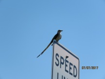 Scissor Tailed Fly Catcher