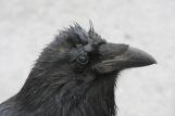 Blinking Raven
