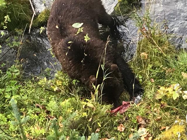Hyder, AK bear 2.jpeg
